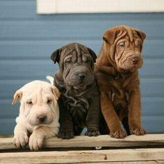 Shar Pei puppy cuteness.