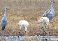 """Parent-reared Whooping Cranes """"Bryce"""" and """"Zion"""" at Wheeler National Wildlife Refuge in northern Alabama."""