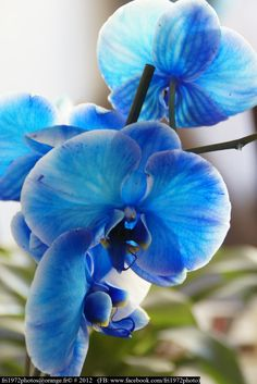Orchidée Royal