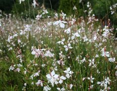Learn how to grow gaura in your garden. Gaura plant care and growing is easy. This drought tolerant shrub thrives in well-drained soil and loves to bath in the day long sun.