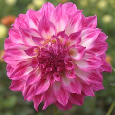 "Colorado Classic Dahlia ~~4""-6"" bloom, 5' tall"
