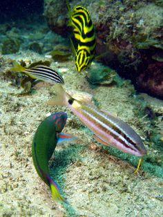 ♥ Black-spot Goatfish, Moon Wrasse, Australian Mado & Stripey