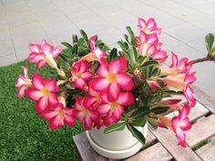 One Of My Adeniums In Bloom