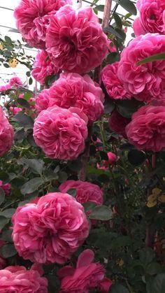 Wallpaper Nature Flowers, Rose Flower Wallpaper, Flower Backgrounds, Good Morning Flowers Rose, Good Morning Flowers Pictures, Beautiful Rose Flowers, Exotic Flowers, Beautiful Flowers, Beautiful Fantasy Art