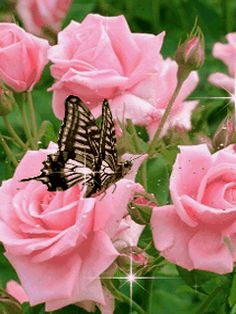 ❤️Roses and Butterflies