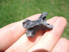 Florida Fossils Bird Avian Vertebra 41816 (3).JPG