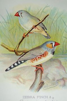 Zebra Finch, from Arthur G Butler's Foreign Finches in Captivity, 1899.