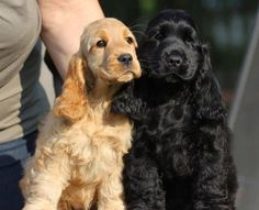English cocker spaniel Master Breeding from Hungary, with 25 years experience and top dogs. Cute Puppies, Cute Dogs, Dogs And Puppies, Doggies, Poodle Puppies, Perro Cocker Spaniel, Black Cocker Spaniel, Cockerspaniel, English Cocker