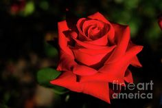 This photograph shows a single red rose. This shot was taken just before sunset in my front garden. Photo by Tracey Everington of Tracey Lee Art Designs. Art Designs, Red Roses, Fine Art America, Advertising, Shops, Community, Business, Happy, Gift