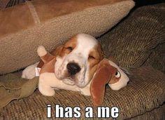 sweet Basset puppy  <3