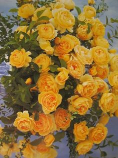 Graham Thomas Roses a David Austin Golden Rose