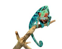 Panther Chameleon - Furcifer pardalis - Ambanja - Male Acid Rain Sire at Canvas Chameleons