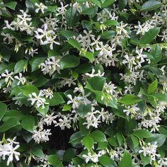 Instagram needs smell-o-vision! Jasmine in bloom all over the city #nola #neworleans #flowers #itsyournola #followyournola #flowerstagram #floweroftheday #nolapatios #frenchquarter #maisonvitry by maisonvitry