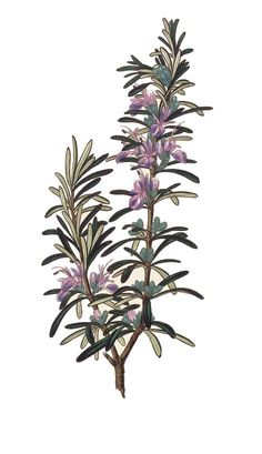 The Best Herbs for Pain Relief—Rosemary has pain-relieving, antispasmodic and anti-inflammatory properties.