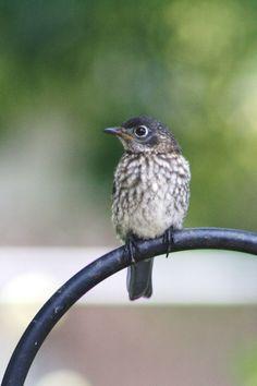 Female Baby Bluebird