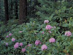 Rhododendron Macrophyllum | Rhododendron macrophyllum (Pacific rhododendron) #3930