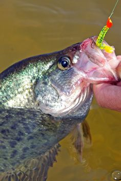 Fishing tips for the spring crappie spawn. Learn when & where the crappie are for a fishing bonanza at Bass Pro Shops. Crappie Jigs, Crappie Fishing Tips, Bass Fishing Tips, Gone Fishing, Best Fishing, Kayak Fishing, Fishing Tricks, Fishing Knots, Fishing Stuff