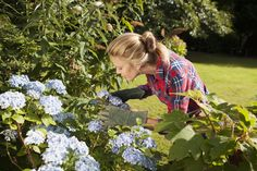Hortensias : Les 21 erreurs à ne pas faire Hydrangea Macrophylla, Nature, Flowers, Voici, Sauf, Variables, Crochet, Gardens, Flowering Shrubs