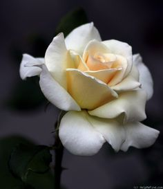Photo of the rose 'French Lace' Beautiful Rose Flowers, Love Rose, Exotic Flowers, My Flower, Beautiful Gardens, Flower Art, Beautiful Flowers, Rose Reference, Flower Phone Wallpaper