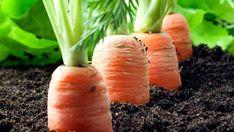 Toužíte li po bohaté úrodě chutné mrkve, pak je dnešní článek určen přímo Vám. Budete naprosto šokování tím, jak Vám mrkve krásně pokvete. Jde o speciální metodu zkušených zahradníků. Ti se rozhodli s Vámi o své zkušenosti podělit. Rozhodně musíte tuto techniku vyzkoušet. Velmi mile Vás překvapí jak snadné to …