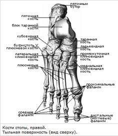 кости стопа