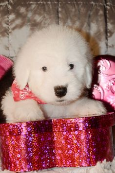 Chevy, Sheepdog puppy @ Sherrier Shaggy Bottoms.  Check us out on Facebook http://www.facebook.com/shaggybottoms