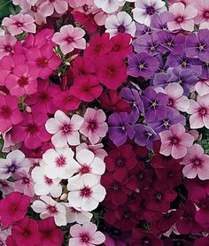 Phlox is so pretty, you just have to make sure it doesn't go everywhere.