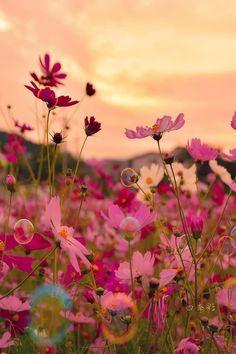 Cosmos - Beauty in all things. Flowers Nature, Wild Flowers, Beautiful Flowers, Image Deco, Flower Phone Wallpaper, Beautiful Nature Wallpaper, Flower Aesthetic, Flower Photos, Nature Pictures