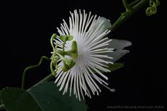 *Passiflora Malacophylla Passion Flower, Mists, Plant Leaves, Flowers, Plants, Royal Icing Flowers, Flower, Florals, Floral