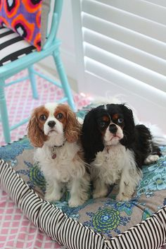 Blenheim & Tri Color Cavalier King Charles Spaniel friends :) - just like my two.  Too great of a breed to have just one!