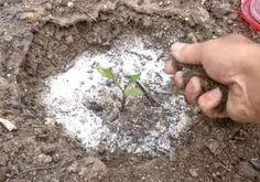 Planter des tomates de côté et ajouter du bicarbonate de soude, les jardiniers partagent leurs plus grands secrets! - Trucs et Bricolages