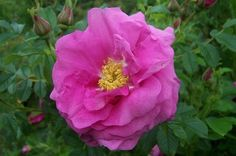 'Will Alderman' (Rugosa Hybrid) Skinner, Canada, 1954 -  rich rose pink with subtle deeper colored veining; 35-40 petals; very fragrant; repeats; tidy refined shrub 3-4' with reddish canes; decorative hips; nice fall coloration; outstanding; Z2, very hardy