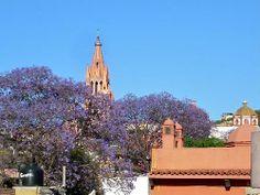 Los árboles color lavanda son nativos de las regiones tropicales y subtropicales de América Central, América del Sur, México y el Caribe. Entre marzo y abril están en plena floración y son todo un espectáculo en San Miguel de Allende.