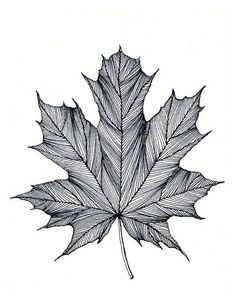 Maple Leaf Print of original Black or Green Pen and Ink DrawingYou can find ink drawings and more on our website.Maple Leaf Print of original Black or Green Pen and . Black Pen Drawing, Doodle Art Drawing, Painting & Drawing, Black Pen Sketches, Drawing Frames, Drawing Drawing, Beauty Illustration, Pencil Art Drawings, Art Drawings Sketches
