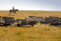 Ranchers in western South Dakota still find some tasks better accomplished the old way, like rounding up cattle on horseback.