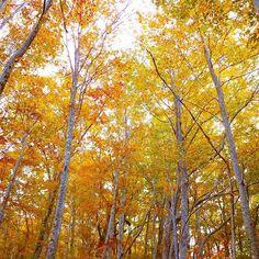 【mamami423】さんのInstagramをピンしています。 《ブナ林の中を 枯れ葉を踏みしめて歩いた🍂 . .  ふわっとした 土の軟らかさが伝わってきて 心地よい😊🍂🍁 . .  もう少し歩いていたいけど…時間だぁ~ダッシュ💦💦 . . 🍁🍂🍁🍂🍁🍂🍁🍂🍁🍂🍁🍂 . . #森 #紅葉 #綺麗 #自然 #秋 #散策 #autumn #japan #natural #nature #photo #naturelovers #autumnleaves #beautiful #landscape #scenery #hiking #instagram #forest #cool #walk #mountains #relax #holiday #refresh #nice #instamood #instagood #insta #leaves》