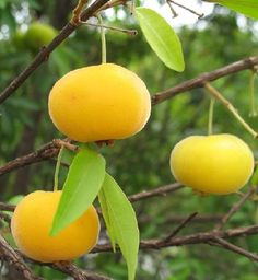 fruits of the Atlantic Forest ~ Found mainly in the states of Santa Catarina, Rio Grande do Sul, Paraná and São Paulo, uvaia is a sour fruit that can be consumed in natura (for those who like sour things - salivating) or juices and jams. Its tree is widely used in reforestation projects, as uvaia attracts many birds, which spread their seeds. His time goes from September to January.