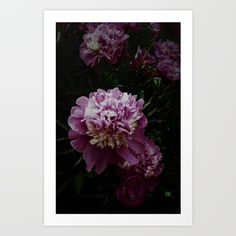 Bushels of Pink and white peonies.  pink ,flowers, romantic, photography