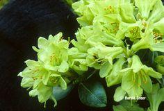 Rhododendron 'Shamrock' — (keiskei dwarf form x hanceanum 'Nanum') Dwarf, Trees To Plant, Garden Design, Gardening, Green, Flowers, Plants, Green Houses, Garten