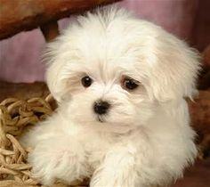 Maltese terrier Dog puppy pictures and wallpapers | maltese terrier