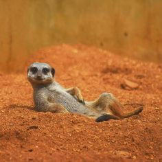 nature,animals-Regrann de discoverychannel: Photo of the Day: A meerkat lounging in the desert. Happy Animals, Cute Baby Animals, Animals And Pets, Funny Animals, Nature Animals, Beautiful Creatures, Animals Beautiful, Beautiful Beautiful, Tier Fotos
