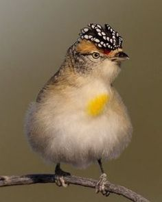 """The spotted pardalote (Pardalotus punctatus) is one of the smallest of all Australian birds at 8 to 10 cm in length, and one of the most colourful; it is sometimes known as the diamondbird."