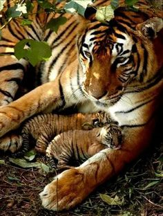 Beautiful Bengal Tiger Mom and Cubs❤