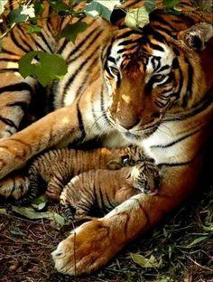 Beautiful Bengal Tiger Mom and Cubs❤