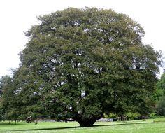 Javor, stablo za svaki vrt / Cvijeće i drveće (Uredi svoj dom)
