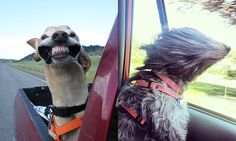 Funny Dogs That Love Car Rides More Than Anything