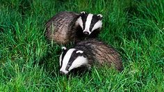 BUMMER, they're cute and they're killing them ... CFZ: Daily News: Badger cull in Wales quashed in the Court of Appeal