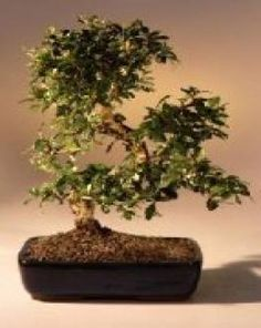 Native to the fujan province of china this tree has small white 9greenbox imported flowering fukien tea indoor bonsai tree flowering description the fukien tea mightylinksfo