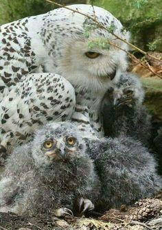 A Snowy Owl family Baby Owls, Baby Animals, Cute Animals, Owl Photos, Owl Pictures, Beautiful Owl, Animals Beautiful, Owl Bird, Pet Birds