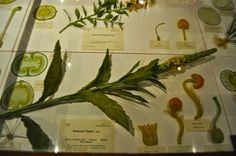 Harvard Museum of Natural History- amazing glass flower collection!